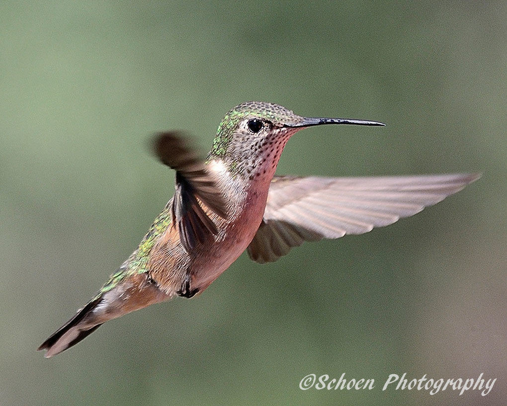 Hummingbird 012