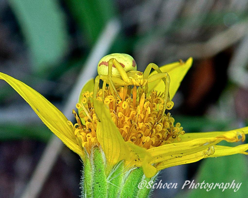 Yellow Spider 001