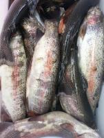 Fischsterben Sindelbach 09