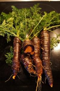 Purple Haze Möhren, außen Rot und innen Orange.