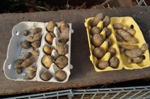 Im Beet gefundene Kartoffeln werden für die nächste Aussat vorbereitet