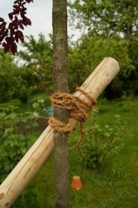 Achterknoten zum befestigen des Stützpfahles am frisch gepflanzten Baum