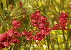 Samenstände der Roten Gartenmelde