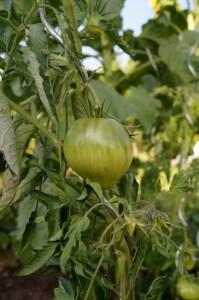 Noch grüne Ochsenherz Tomate