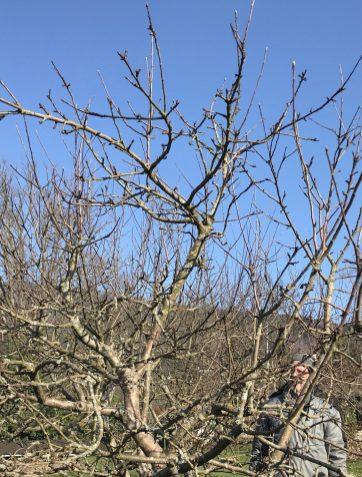 Die Baumspitze vor dem Schnitt