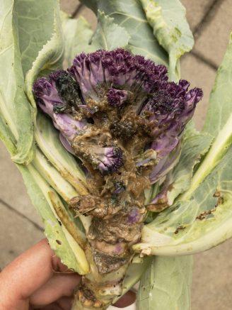 Kohlhernie beim Brokkoli