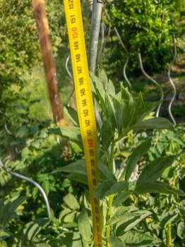 Die Emperial Green Longpod wird über 1 m hoch