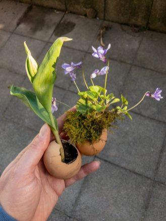 Tulpe und Veilchen in Eier