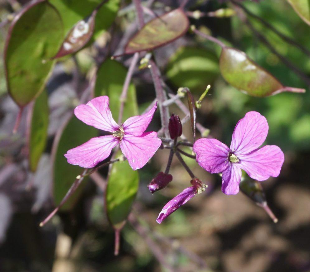 Die violetten Blüten von Chedglow