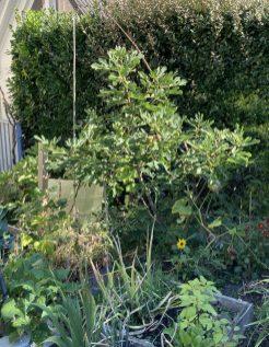 Feigenbaum im September