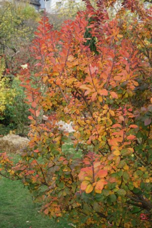 Herbstfärbung des Perückenstrauch