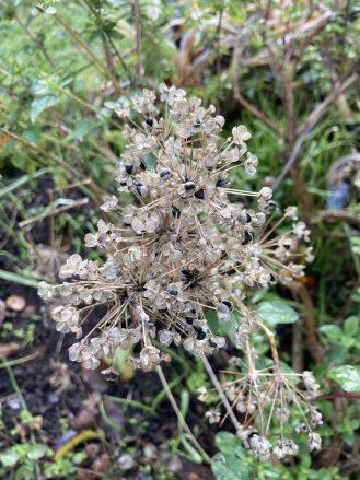 Der Samenstand der Pflanze im Winterbeet.