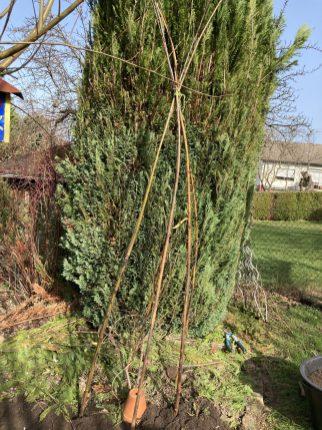 Oben alle Zweige zusammen binden.