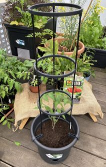 Mit Rankgerüst kann jetzt die Tomatenpflanze wachsen.
