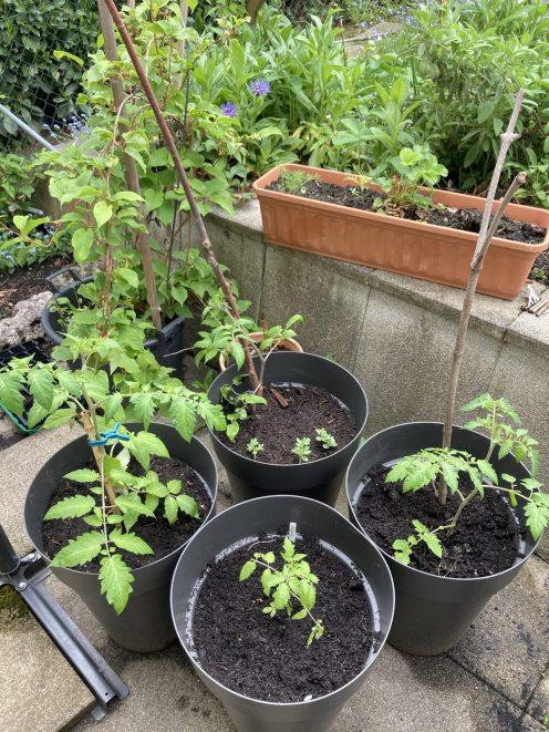 Je eine Tomaten Pflanze mit Beiwerk im Kübel