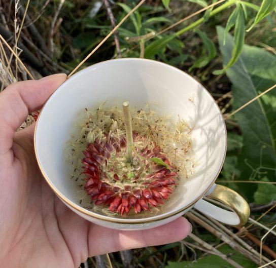 Schnell in die Teetasse zum Trocknen - die feinen Samen der Trockenblume.