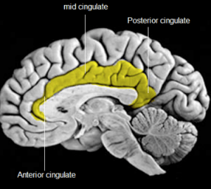 Some of many brain areas associated with chocolate eating, smelling, and motivation.