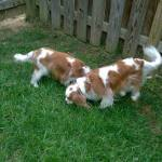 Puck & Artemis on the hunt: sniffing out a bird!