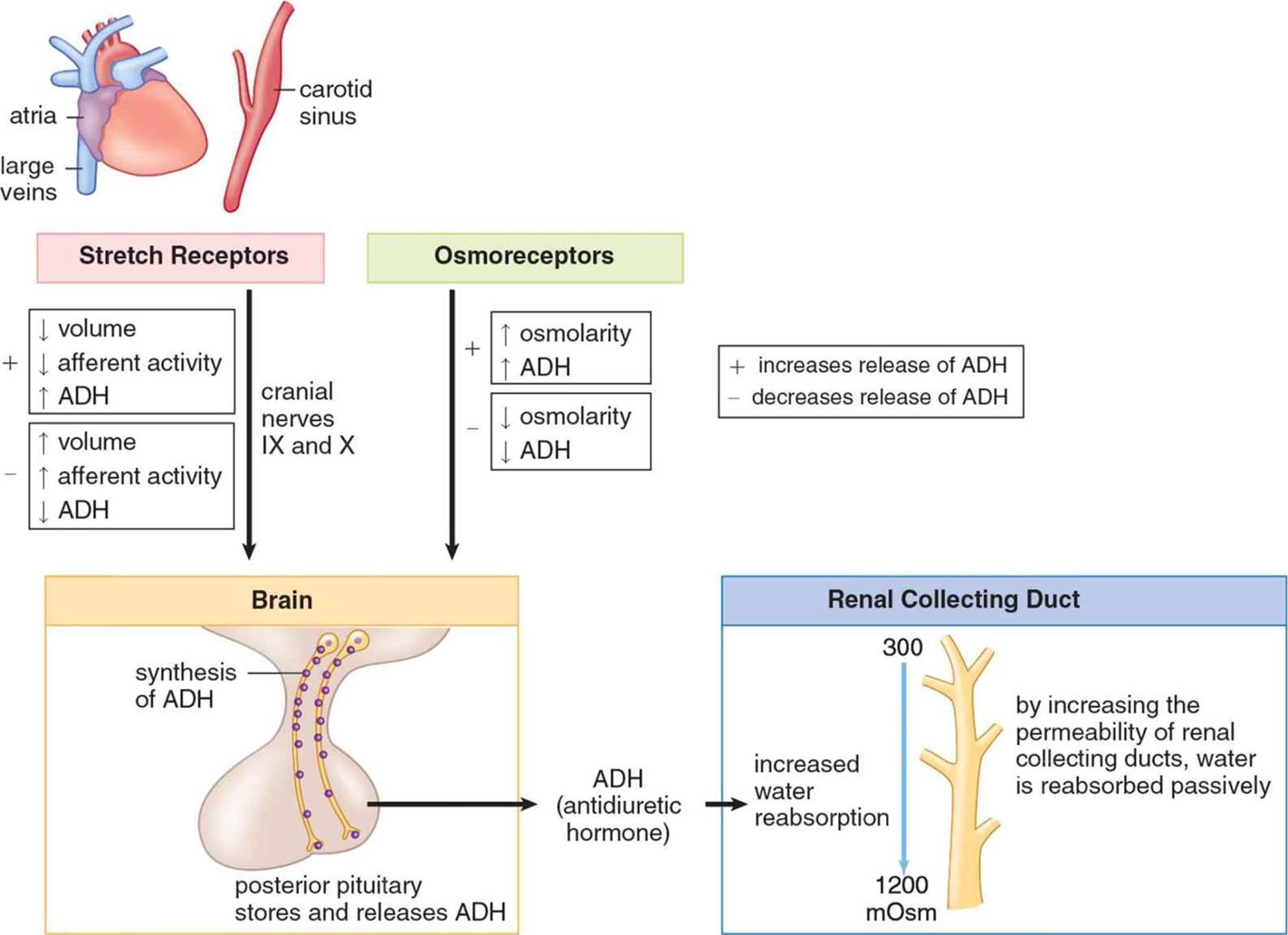 Figure 5 6 Antidiuretic Hormone Adh