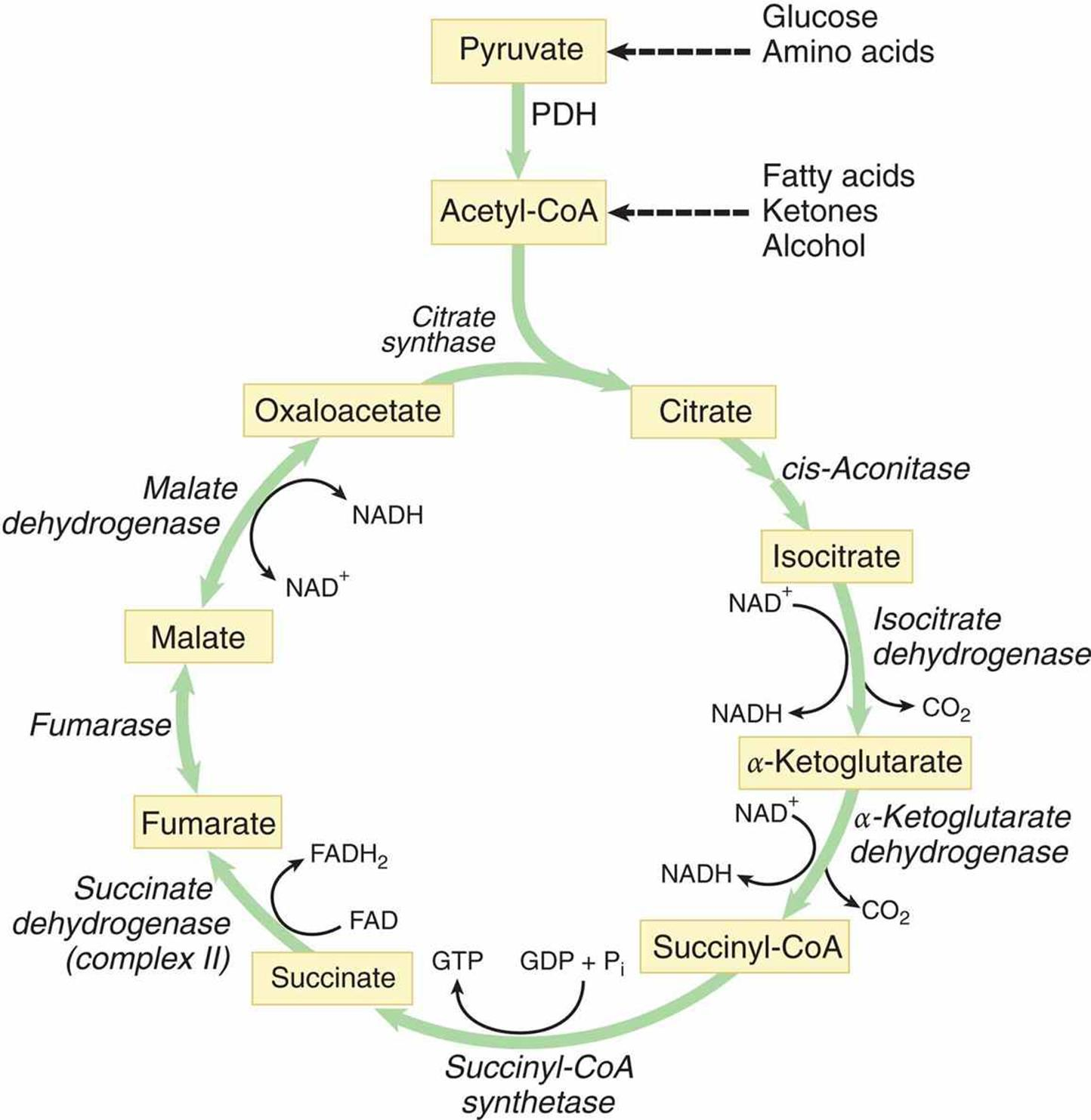 Figure 10 4 The Citric Acid Cycle
