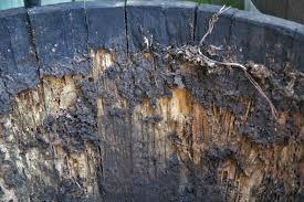 Termite damage in wine barrel.