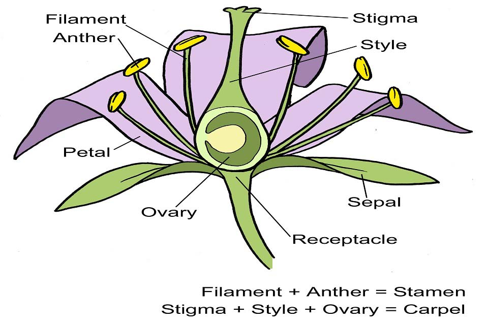 Flower structure diagram  RHS Campaign for School Gardening