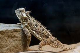 Horned Lizard-Writing Workshop