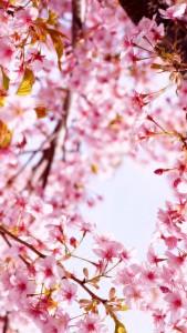 桜_20150222_2_raw