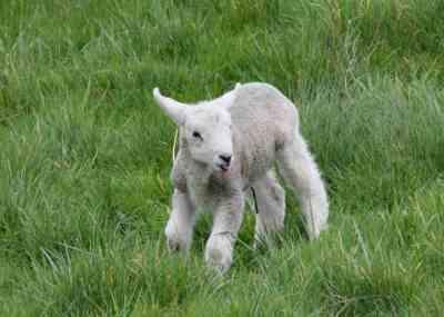96 little lamb resized