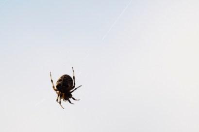 271 spider in the garden web
