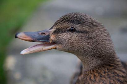 298 crispy the duck web