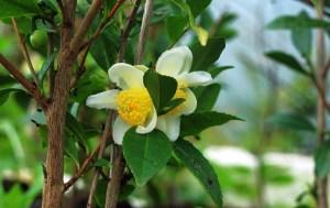 Tee aus schottischem Anbau kann auf Genussreisen verköstigt werden und versüßt somit jede Schottlandreise.