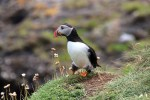 Vor allem im Norden Schottlands kann man die Puffins auch individuellen Rundreisen beoachten.