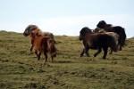 Auf einer individuellen Rundreise trift man unweigerlich die beruehmten Shetland Ponies an.