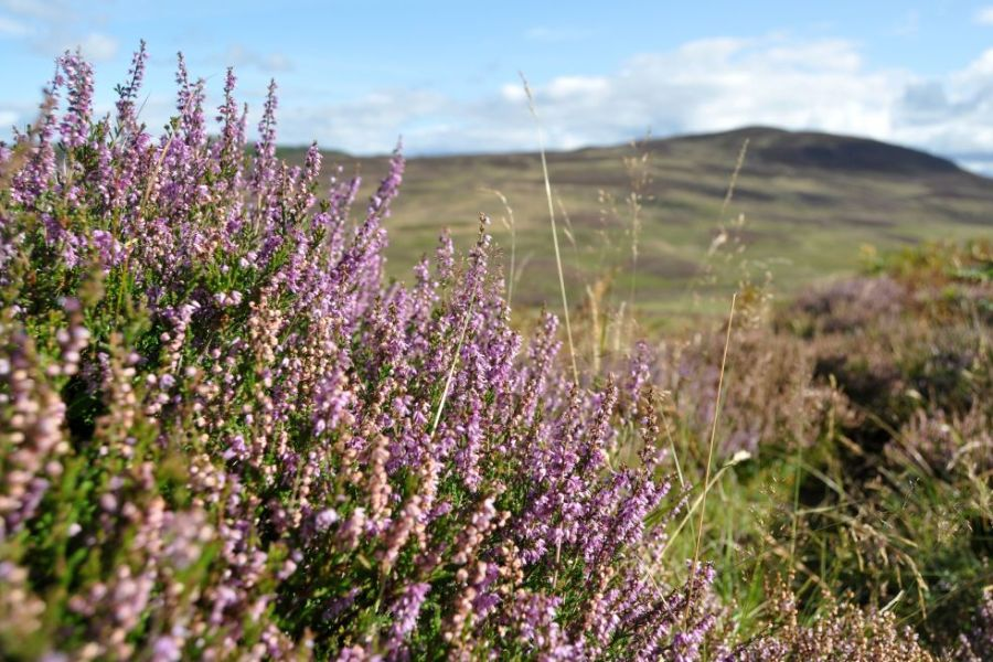 Ende August faengt in Schottland die Heidebluete an.
