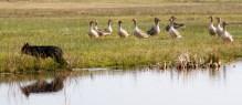 De ganzenhoeder, …waar zijn ze, waar zijn ze