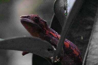Chameleon_komp