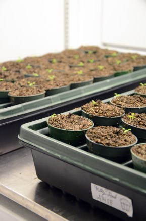 Arabidopsis plants