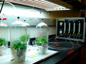 Volatile experiment on Arabidopsis infected and non-infected by Pieris rapae caterpillars