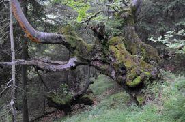 v Revúckej doline sú zaujímavé stromy