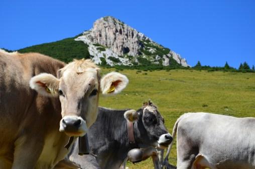 Weißhorn mit Kuh