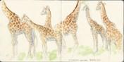 Giraffe sketch by Kathryn Chorney.