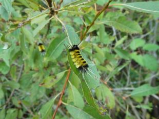 Spotted tussock moth (Lophocampa maculata). Photo: Trish Murphy