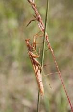 Praying mantis. Photo: Emily Damstra