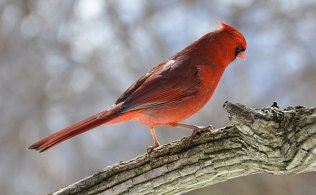 Cardinal at RBG; photo by Steven Potter