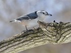 White-breasted nuthatch at RBG; photo by Steven Potter