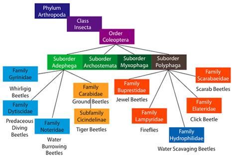 beetle phylogeny