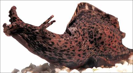 Aplysia californica