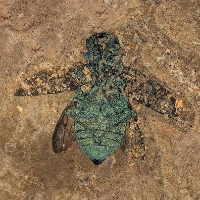 Jewel Beetle Fossil