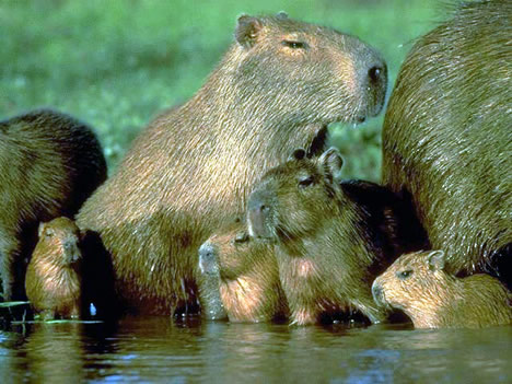 The Sweet Smell of Burning Capybara Poop | The Beagle Project